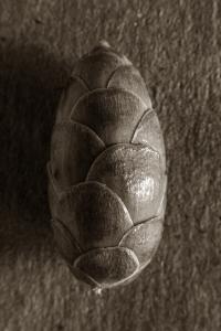 Cone - Pinus Strobus by Tom Gnadinger