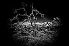 Joshua Tree - by CJ Pressma