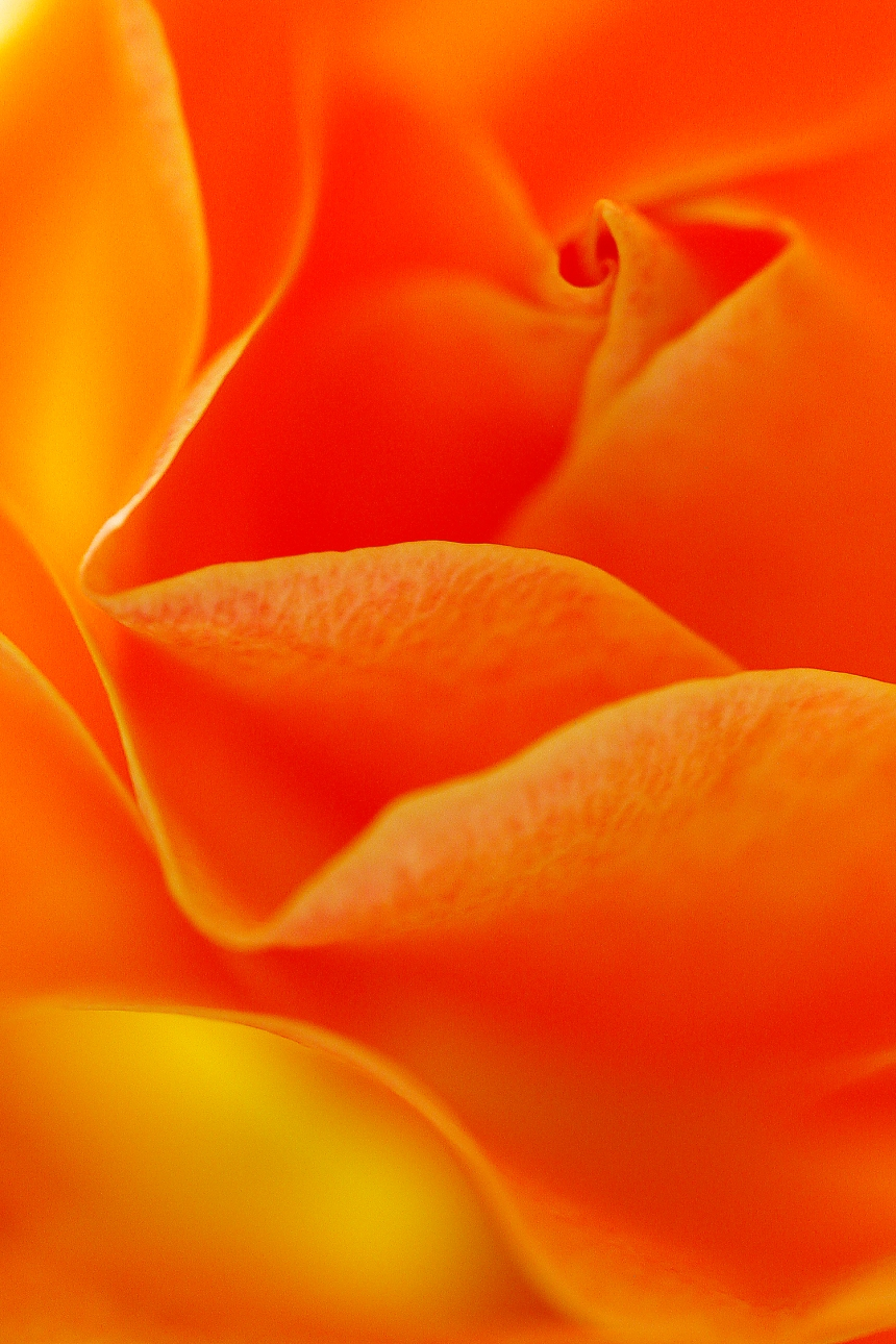 Orange Rose - by Deborah Brownstein